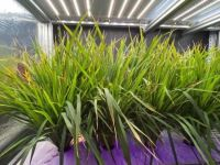 LED植物照明大显身手,植物工厂水稻生长周期减半