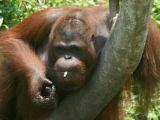印尼猩猩捡拾游客烟头染上烟瘾